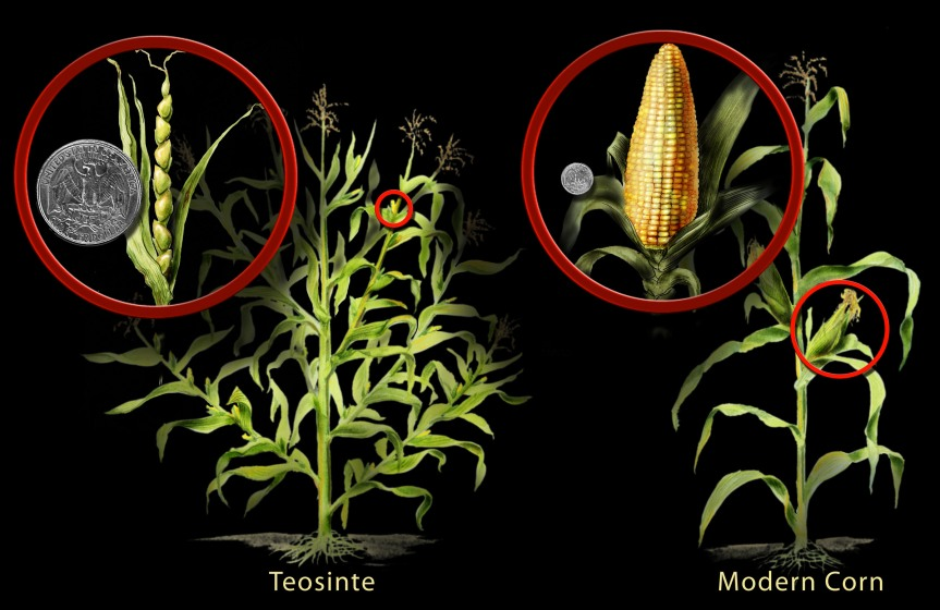 the purpose of plant breeding and selection and why it is a never-ending story