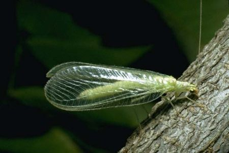 images_green_lacewing_hr