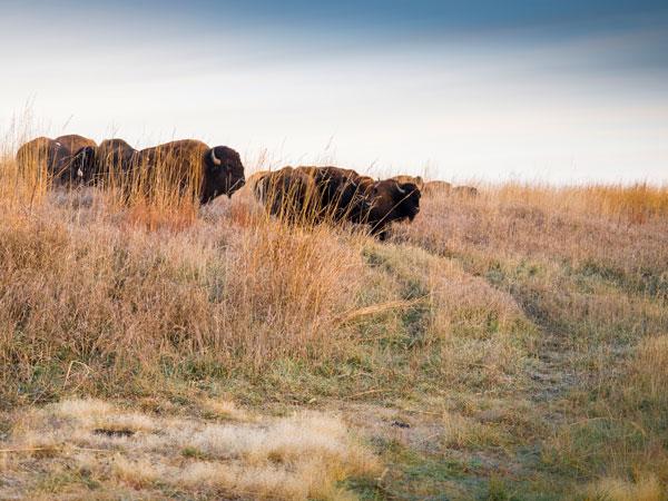 nachusa-bison-600-450-charles