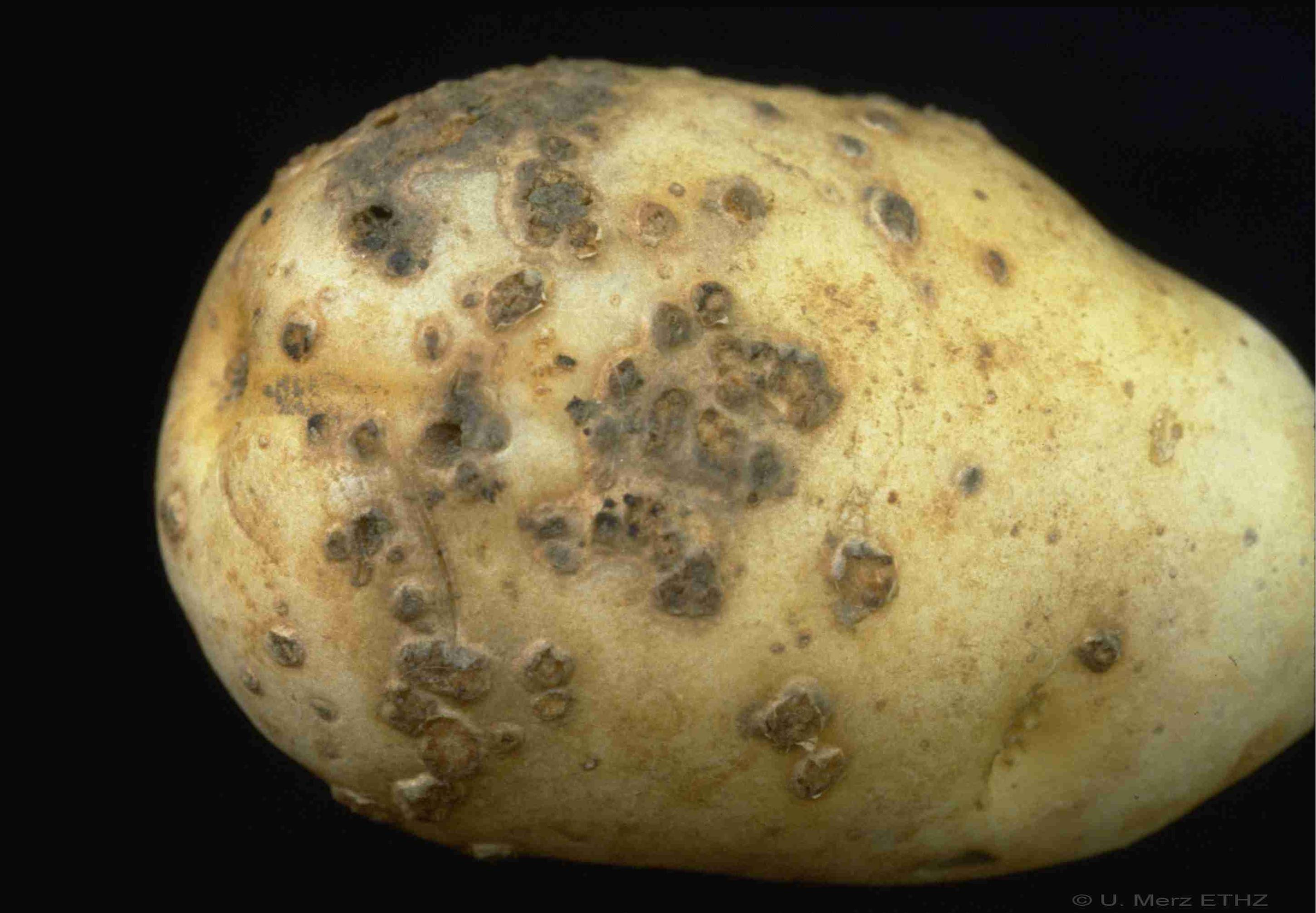 powdery scab potato