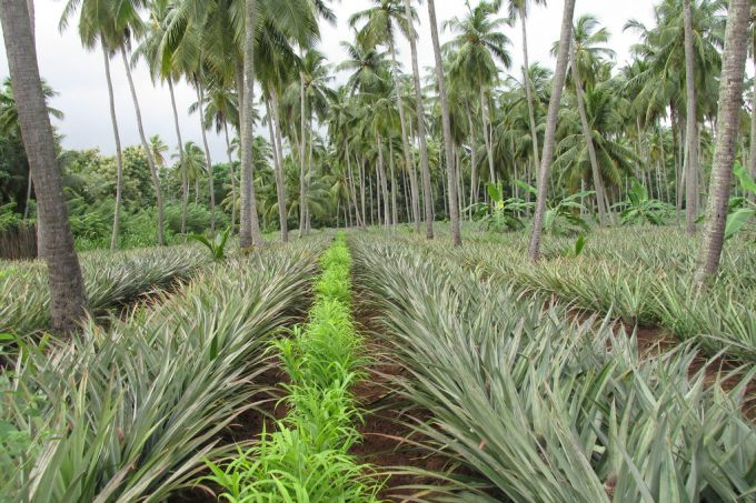 Inter-cropping: Advantages and Disadvantages