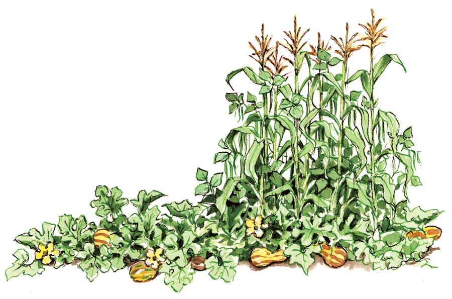 an introduction to intercropping
