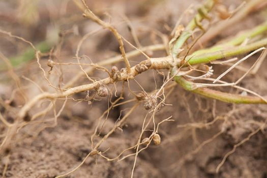 640px-nitrogen-fixing_nodules_in_the_roots_of_legumes